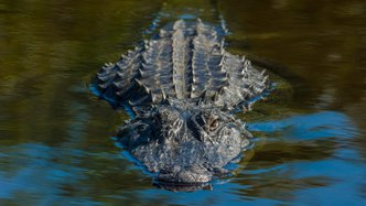 Alligator Energy to raise $1.1M