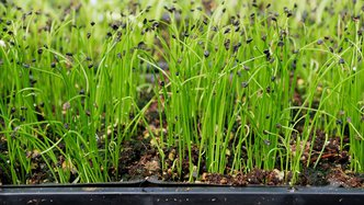 Roots' unique ag-tech increases yield by 257% in chives pilot