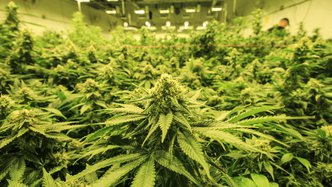 Roots more than doubles cannabis yields