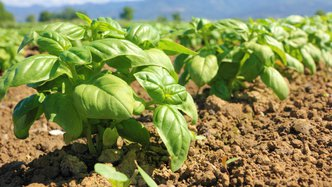 Ag-tech player Roots' successful basil study opens commercial doors