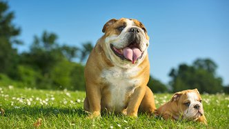 Happy cute english bulldog puppy with its mother dog