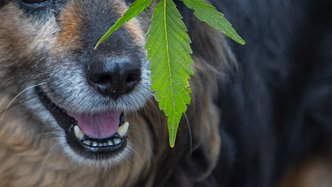 Creso Pharma's CBD for pets secures regulatory approval in Latin America