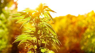 cannabis plant los angeles