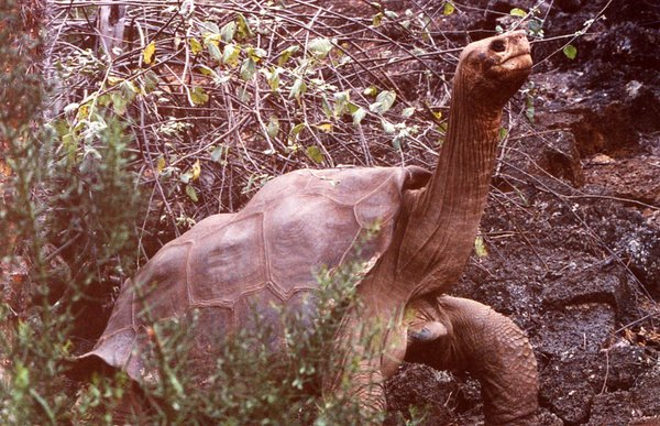 Lonesome George – content in his solitude.
