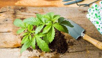 MGC Pharmaceuticals on high as Malta legalises medical cannabis