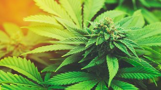 MMJ secures licence to grow medical cannabis in Canada