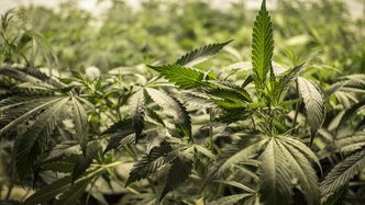 Roots takes root zone cooling tech to flourishing US pot market