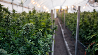ASX AgTech junior making inroads in North American cannabis sector