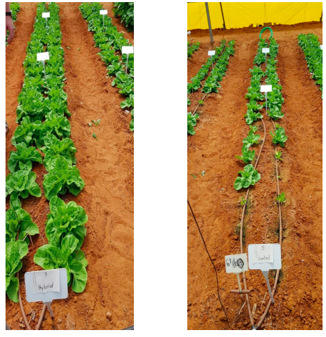 Romaine lettuce grown in a greenhouse using RZTO technology, compared to control plants