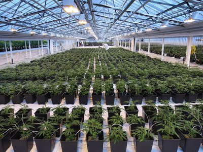 Medical cannabis production at the Aphria greenhouses in Leamington, Ontario