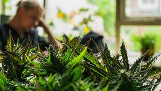 Rare CBD hemp strain found