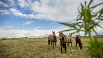 Equines and large animals to benefit from Creso's new hemp plant product