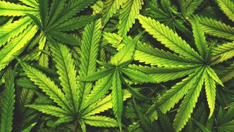 Roots' RZTO technology increases cannabis harvest yields by 40%
