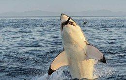 sm8-shark